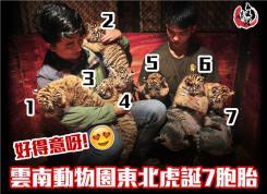 雲南野生動物園東北虎誕7胞胎  好得意呀