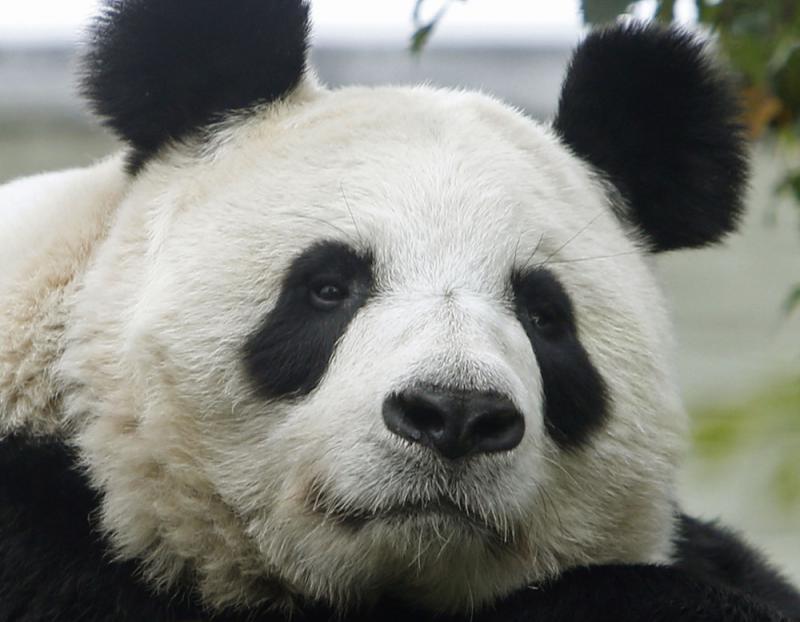 【大公報訊】據美聯社、英國《每日電訊報》報道:英國愛丁堡動物園24日表示,向中國租借的唯一雌性大熊貓甜甜(見右圖)已經懷孕,園方正對其進行密切關注。   愛丁堡動物園發言人表示:「大熊貓的繁殖過程非常複雜,但我們相信甜甜懷孕了,目前正密切關注牠的生活作息。不過,很難預測甜甜具體的生產日期,熊貓繁殖季可能會持續到9月底。」   辨別雌性熊貓腹中是否懷有寶寶十分困難,因為這種動物容易有「假性懷孕」的情況,其徵兆與真正懷孕非常相似。   甜甜出生於2003年。2011年12月,愛丁堡動物園向中國租借甜甜與
