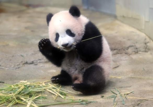 壁纸 大熊猫 动物 585_410