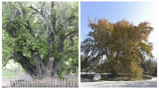 """新疆两""""最美""""古树 合计超高龄1482岁"""