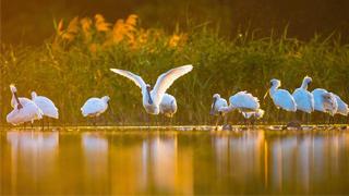 ?大湾区拟建生态廊 保护珍稀水鸟
