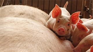 非洲猪瘟暂未影响香港市场 猪肉价格暂稳