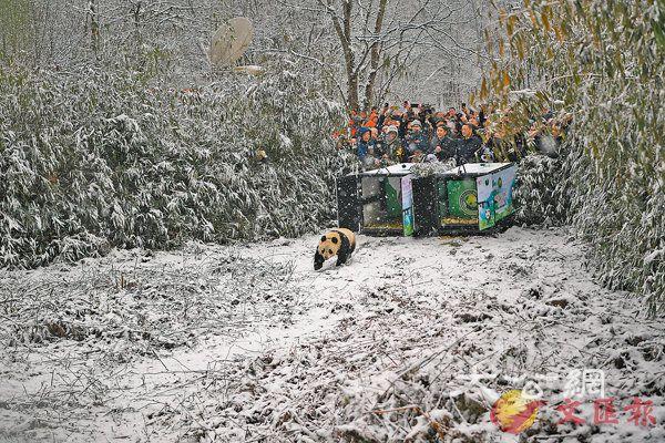 ■大熊貓「琴心」走出放歸籠。