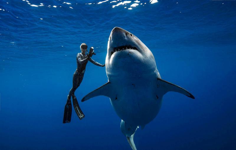 全球最巨 六米大白鲨现夏威夷