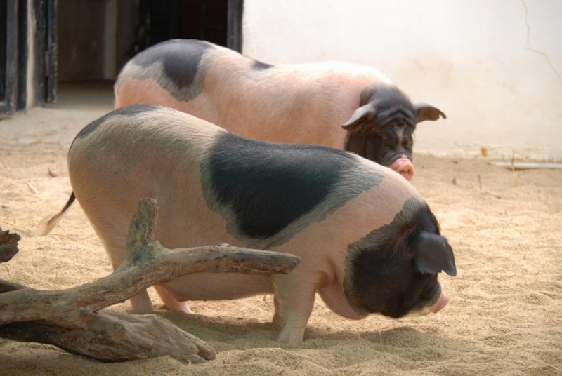 香港養豬業不忘嘉道理