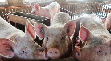 多个速冻产品疑被查出非洲猪瘟病毒 专家:不传染人