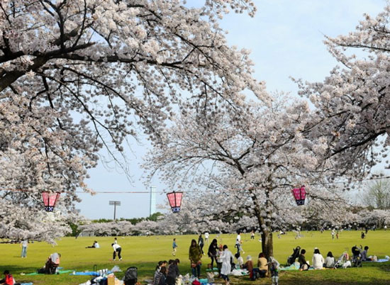 遊日注意|櫻花預測出爐 東京3月30日盛開