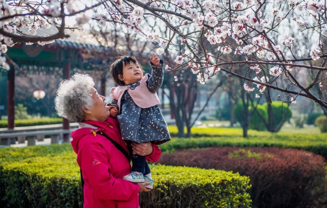 鶴壁櫻花節20日啟動 數萬株櫻花綻放迎海內外遊客