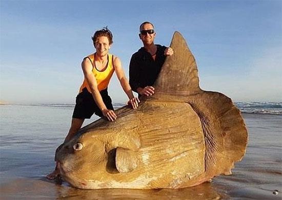 罕見「翻車魚」驚現澳洲海灘