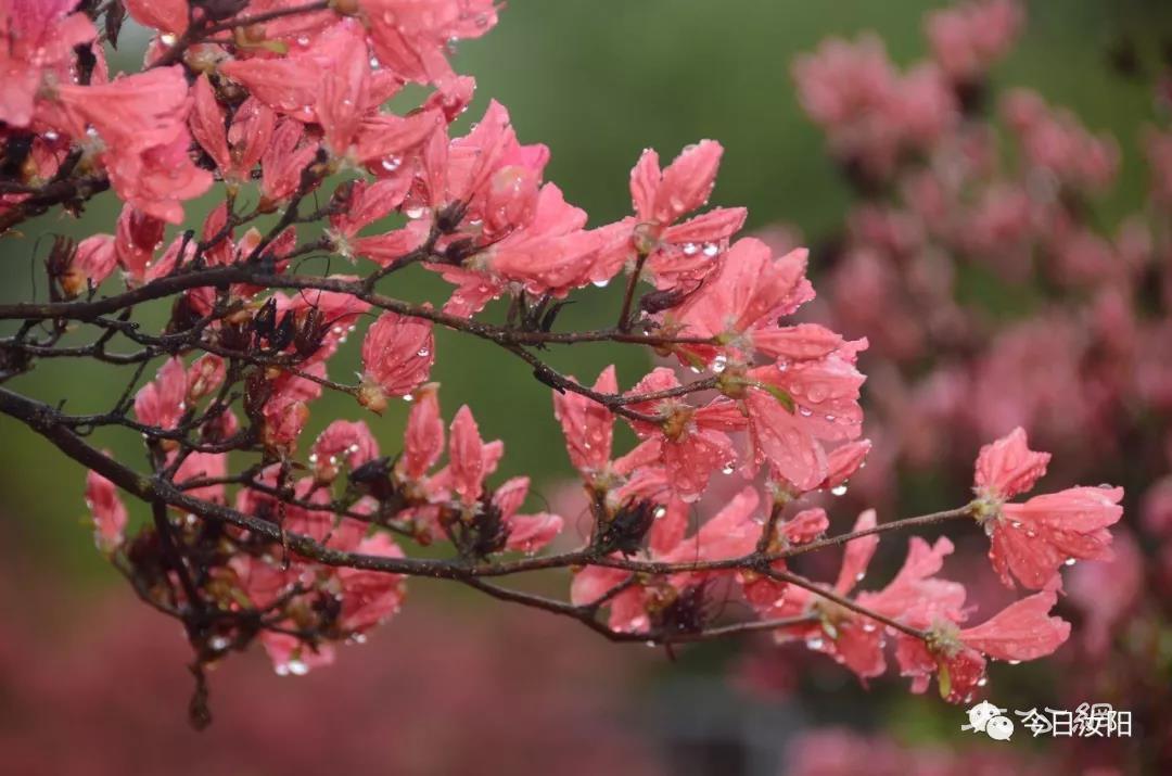 第十八屆河南汝陽杜鵑花節暨炎黃文化節開幕
