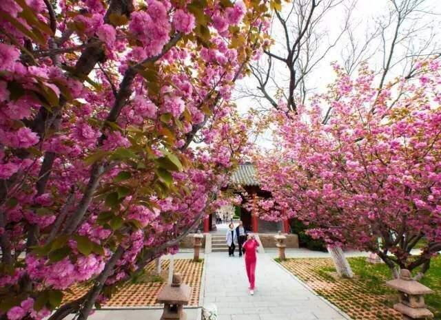 四月櫻花美