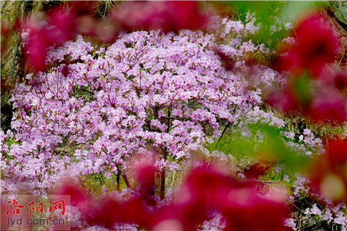 河南西峽老君洞成紫荊花海洋 漫山遍野一片紅