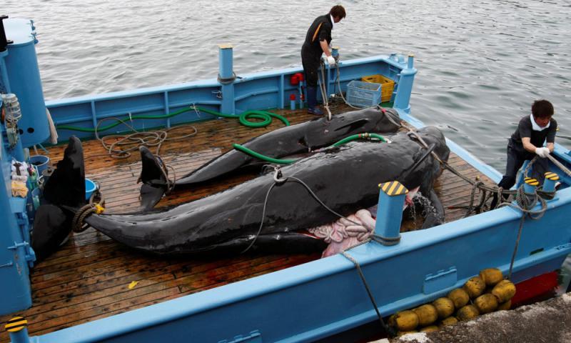 ?時隔31年 日本重啟商業捕鯨