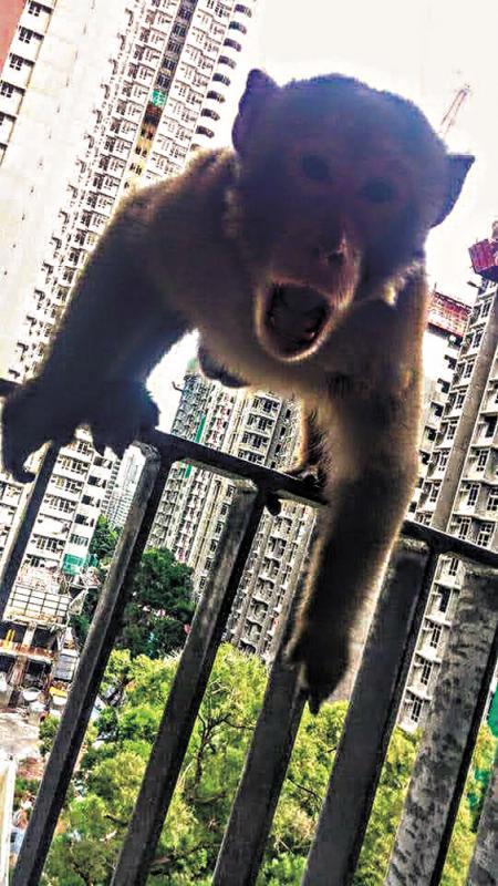 ?投诉门/暴猴杀入新苏屋邨