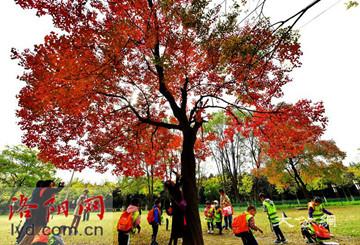 洛陽隋唐植物園的「網紅樹」進入最美時節