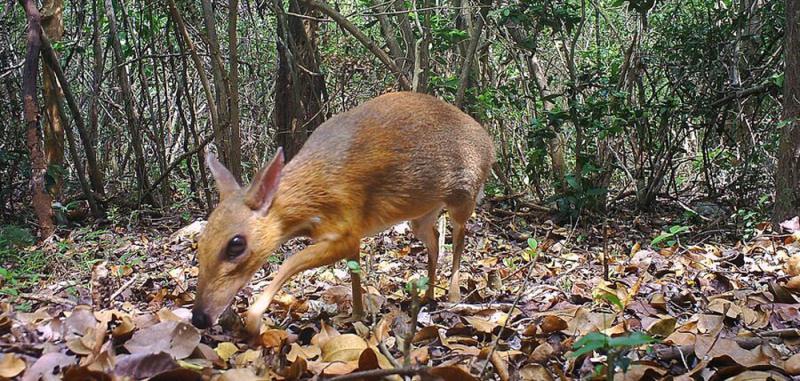 ?隐匿林地30年 稀有越南鼷鹿现踪