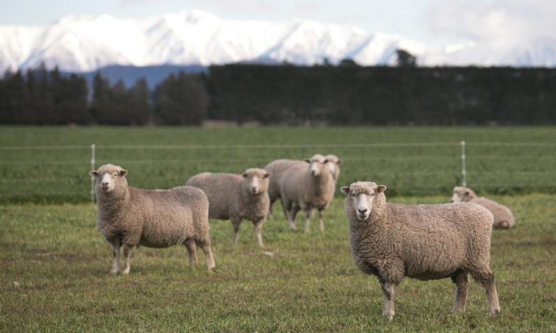 """?紐推""""環保羊"""" 基因工程助減排"""