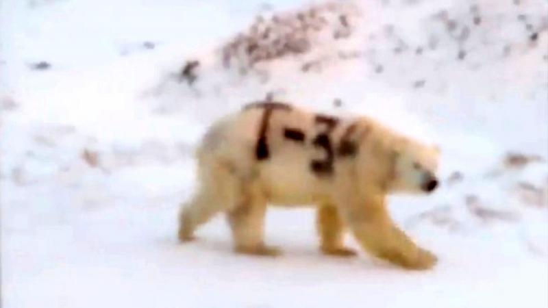 ?北極熊慘遭噴漆 失保護色影響捕食