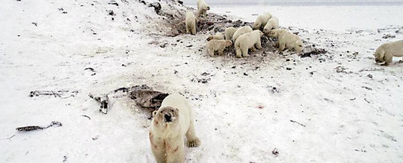 """?海冰变薄食物不足 56北极熊""""奇袭""""俄村莊"""