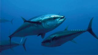 气候变化致海洋缺氧 大型鱼类首当其冲