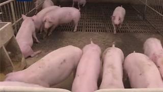 自然资源部:新政出台 多方面保障生猪养殖用地需求