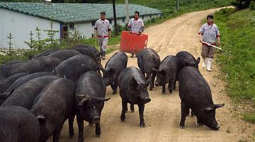 教授豬農這一年:十幾年心血毀于一旦 資金拮據復產難 豬瘟肆虐