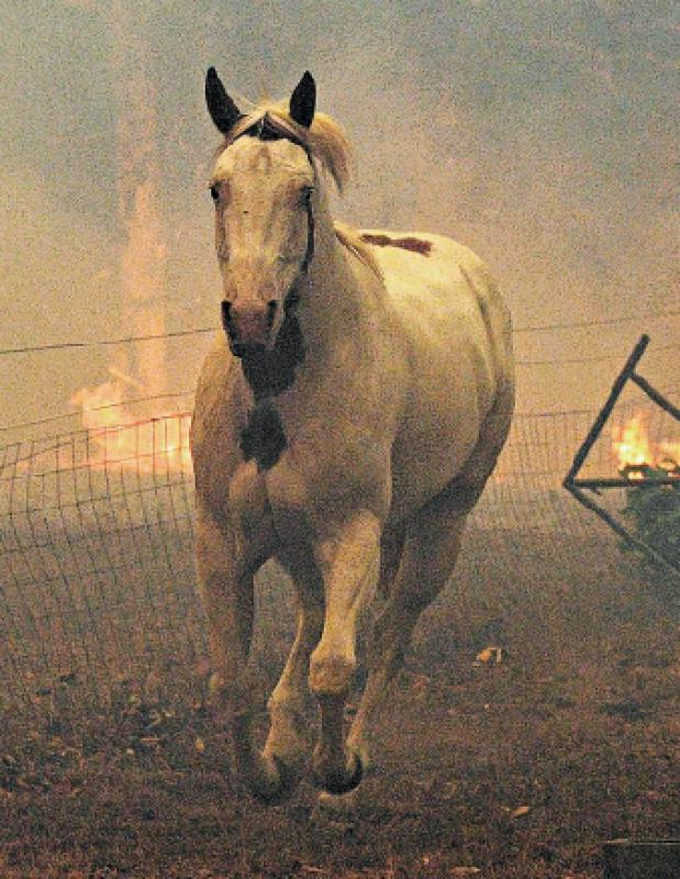 ?10亿隻动物 直接或间接死於山火中