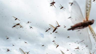 蝗灾肆虐非洲之角 联合国提醒关注粮食安全