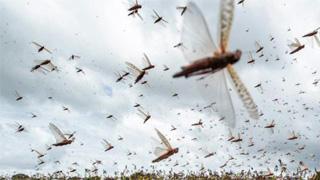 联合国粮农组织再发警告:东非蝗灾严重威胁粮食安全