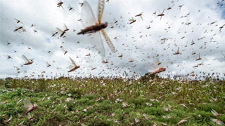 云南:3月底完成沙漠蝗林草灾害监测布点