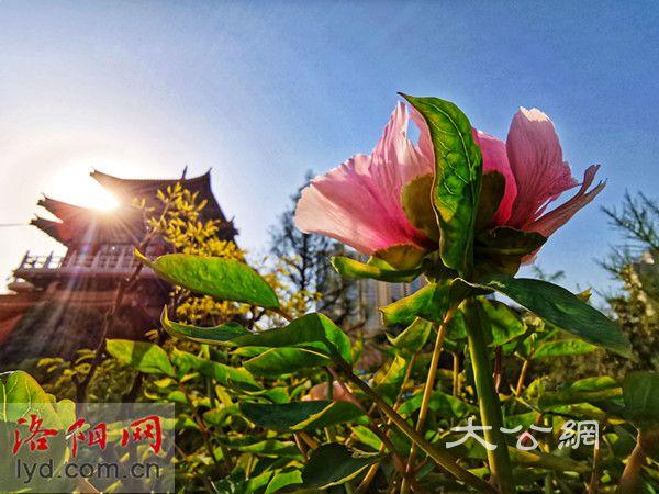 洛陽王城公園中國國花園已有牡丹開放