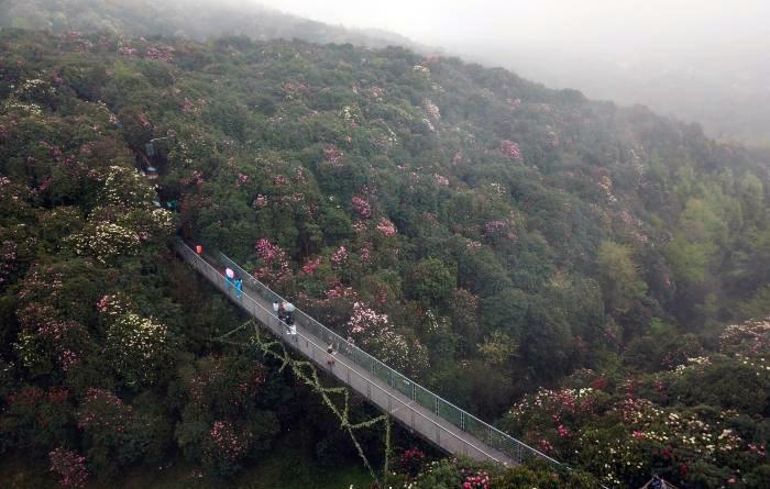 春暖花開 貴州百里杜鵑景區客流量回升