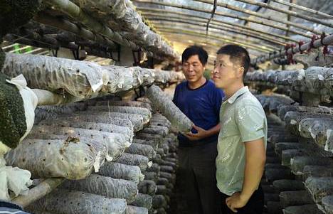 嵩县香菇菌棒年收入7亿多元 首次走出国门