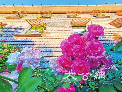 洛陽望春門街:薔薇花開,花繁葉茂
