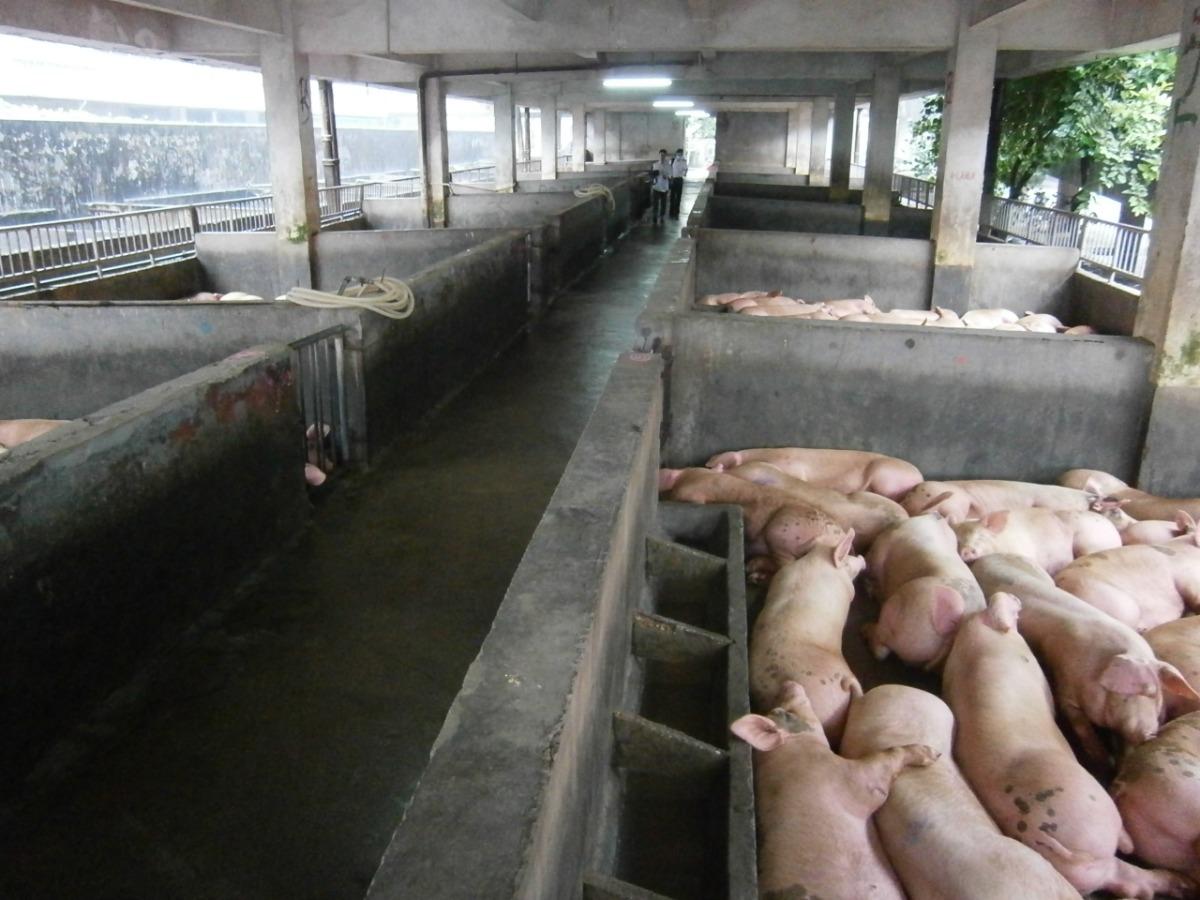 万科杀入养猪产业 招聘大量专业人才