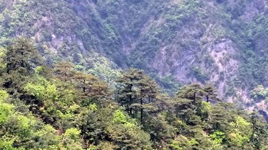 湖南南山国家公园发现大面积华南五针松天然群落