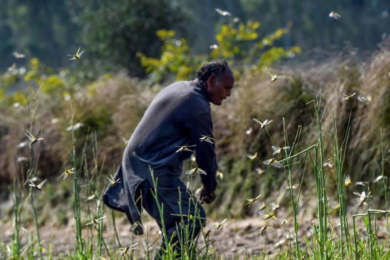 ?沙漠蝗蟲來襲 印巴伊朗合作護糧