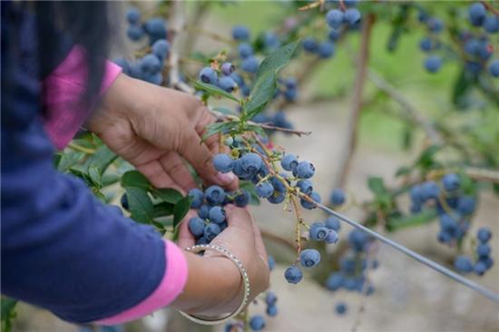 疫情下的蓝莓收获季:BC蓝莓积极应对,聚焦生产安全