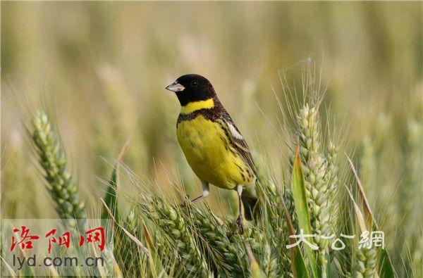 洛陽孟津黃河濕地驚現「極危」物種——黃胸鵐