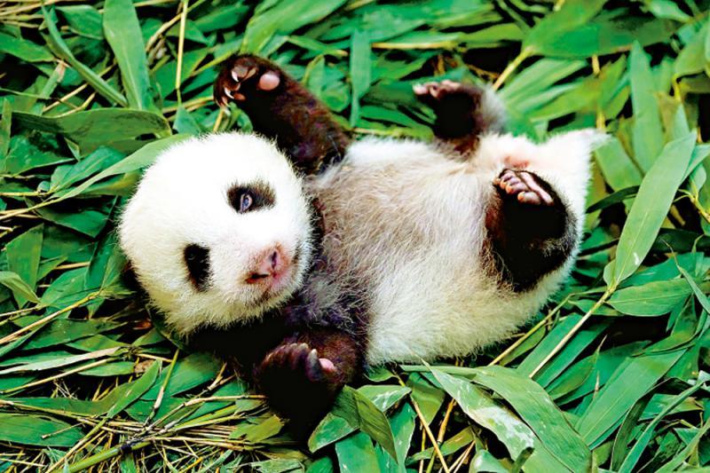 """?赠台大熊猫二胎起名""""圆宝"""""""
