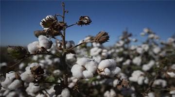 """美国宣布""""暂扣令"""" 禁止新疆棉花进口"""