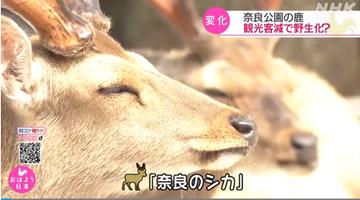 日本奈良鹿瘦成皮包骨 疑被鹿饼喂上瘾