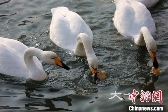 新疆庫爾勒天鵝15年增400只 成為冬季旅遊新主題
