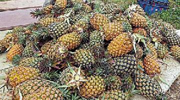 台媒:不怕运费比水果贵 台湾2吨凤梨销往澳大利亚
