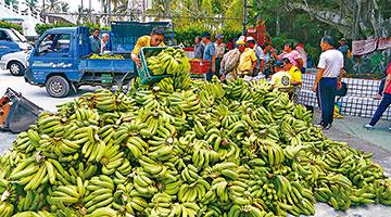 农药超标6倍被下架 台湾出口日本香蕉遭封杀