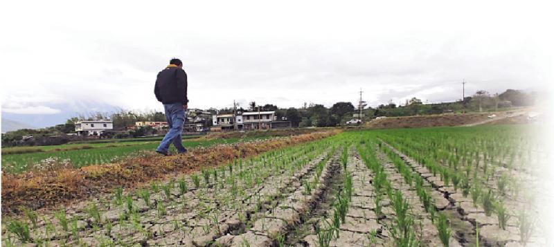 台岛旱灾加剧 民众焗捱贵米