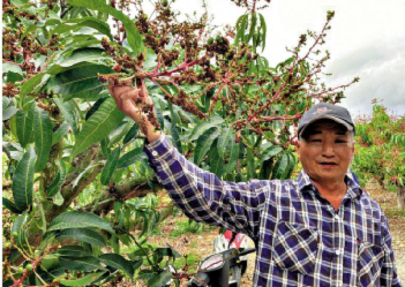 ?高溫乾旱 屏東芒果減產兩成