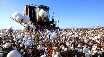 """新疆棉花生产是否存在""""强迫劳动""""?西南政法大学将发表调研报告"""