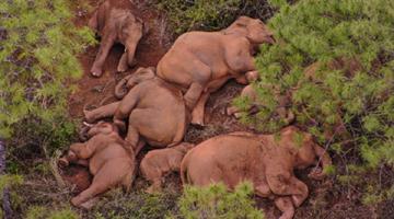 人象平安!独象离群9天 距离象群17.4公里