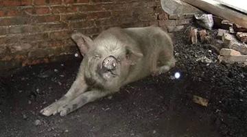 """汶川大地震""""猪坚强""""往生 遗体或制标本"""